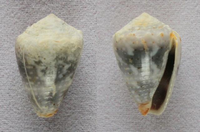 Conus (Virroconus) aristophanes - (G. B. Sowerby II, 1857) Panora49