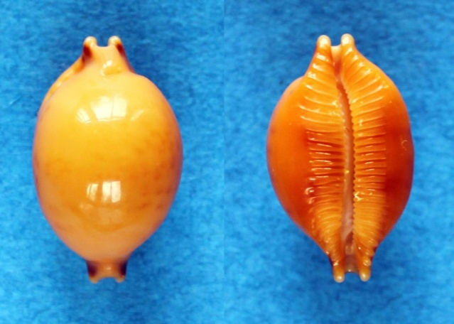 Pustularia globulus globulus - (Linnaeus, 1758) Panora52