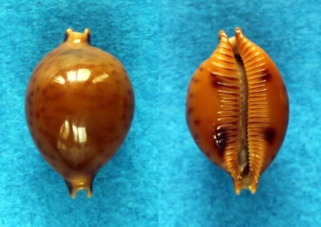 Pustularia globulus globulus - (Linnaeus, 1758) Panora53