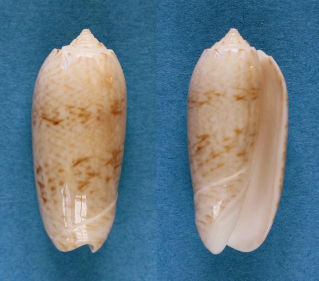 Cariboliva trujillo (Clench, 1938) - Worms = Oliva scripta Lamarck, 1811 Panora67