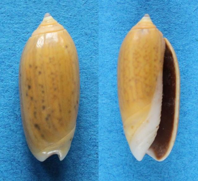 Oliva oliva (Linnaeus, 1758) Panora69