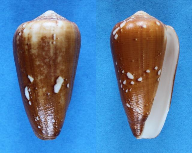 Conus (Darioconus) behelokensis   Lauer, 1989 - Page 2 Panora77