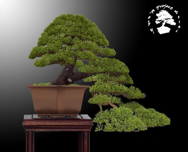 Juniperus Chinensis - Pagina 3 Chinen12