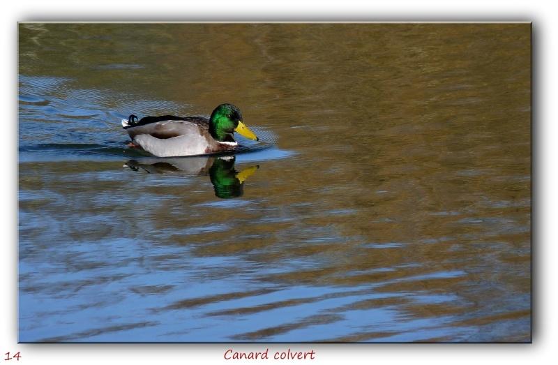 Des habitués de l'étang près de chez moi... P1090412