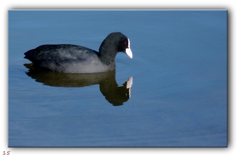 Des habitués de l'étang près de chez moi... P1090413