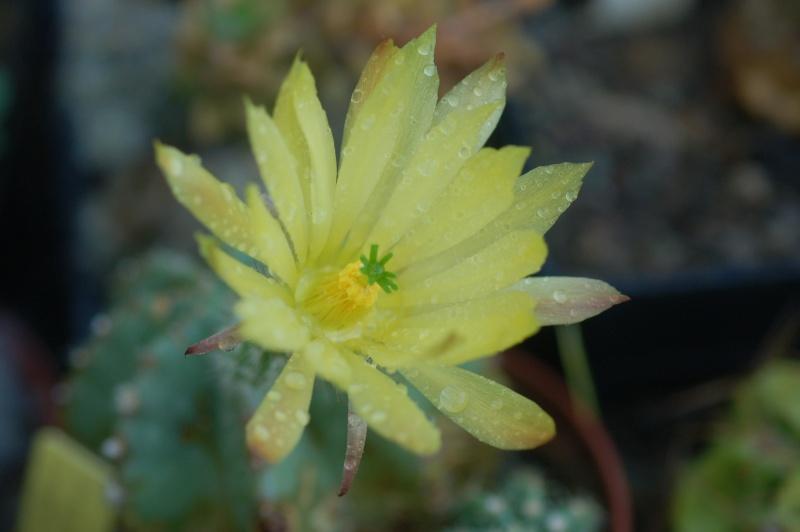 Echinocereus subinermis Dsc_0913