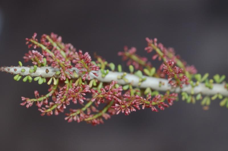 Ceraria namaquensis en fleurs Dsc_0914