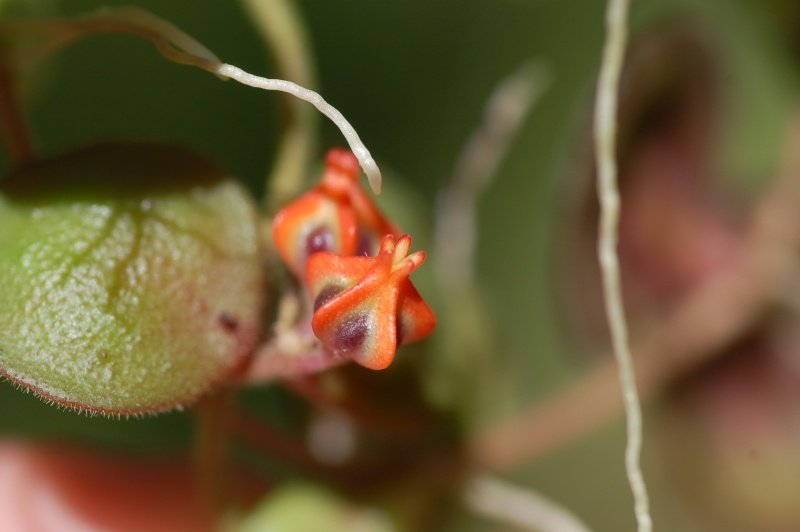 floraison de Dischidia astephana Dsc_1115
