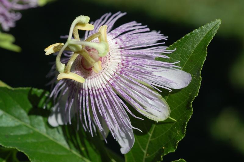 Passiflora incarnata Dsc_1116
