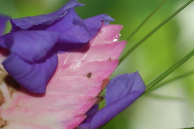 Tillandsia cyanea Dsc_1226