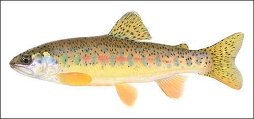 trout.. Baluar10