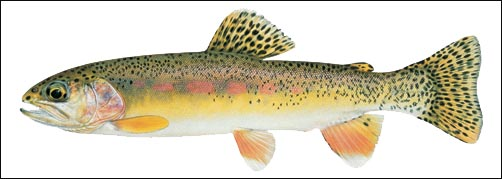 trout.. Mayo_t10