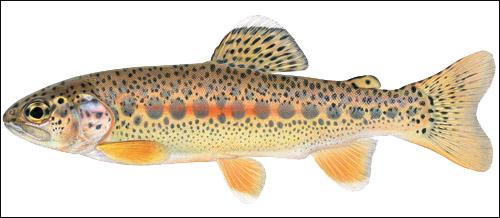 trout.. Piaxtl10