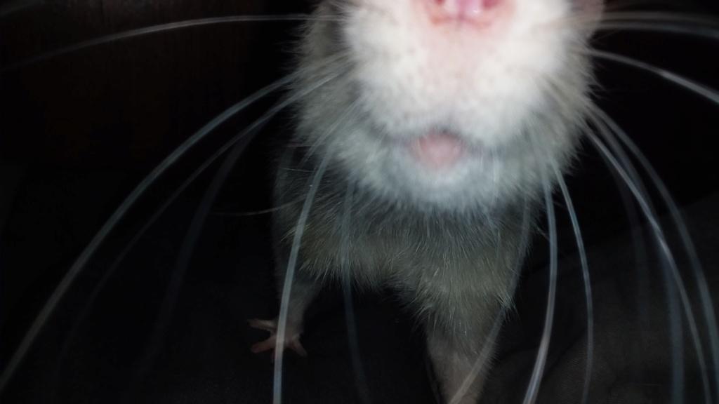 mes petits ratounets. - Page 27 15524044