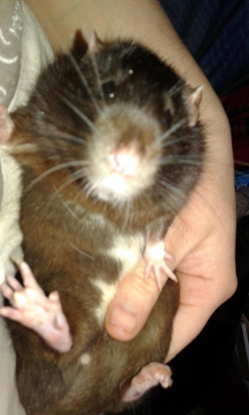 Comment faire maigrir mon rat ? 20180410