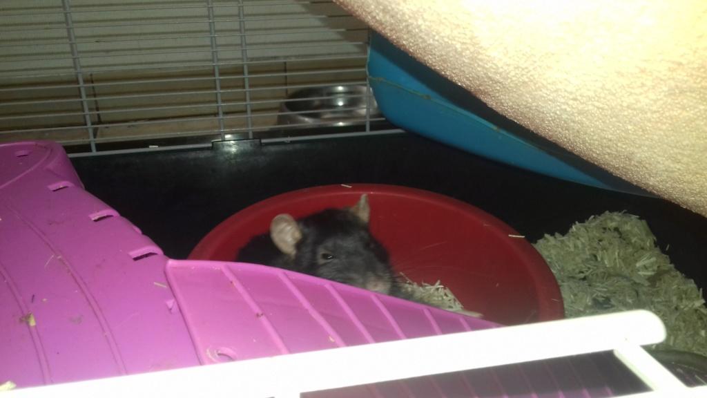 Mes cages à ratous  20190523
