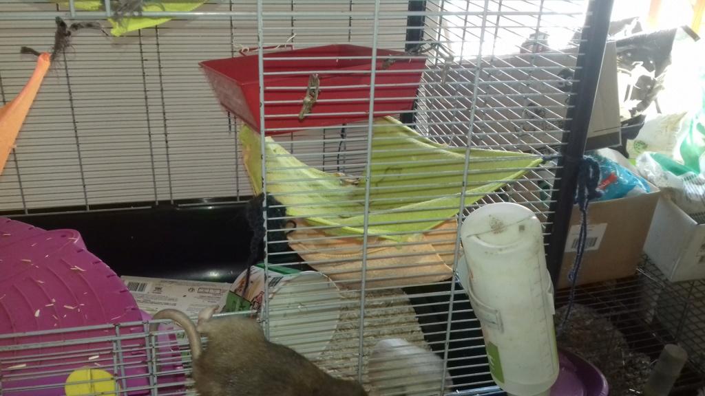 Mes cages à ratous  20190525