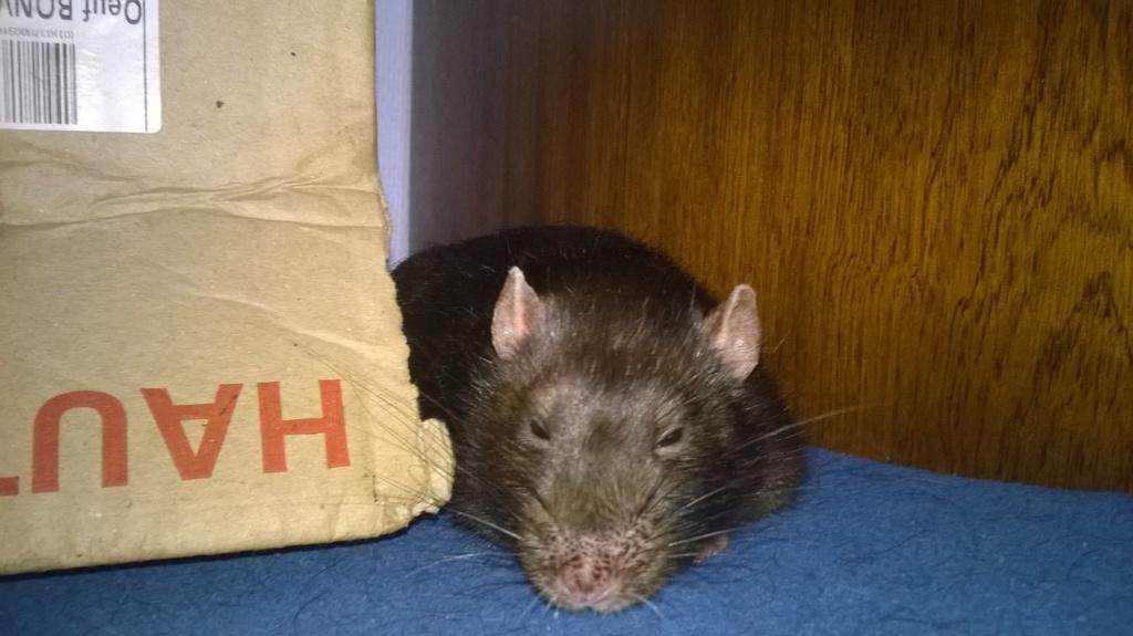 Comment faire maigrir mon rat ? 67362711