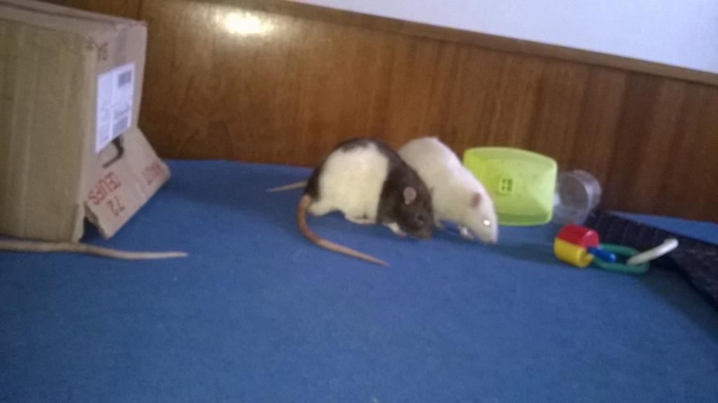 mes petits ratounets. - Page 22 Wp_20116