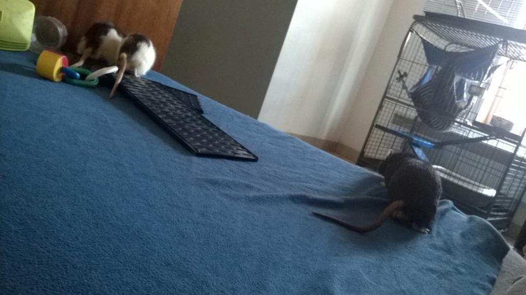 mes petits ratounets. - Page 22 Wp_20121