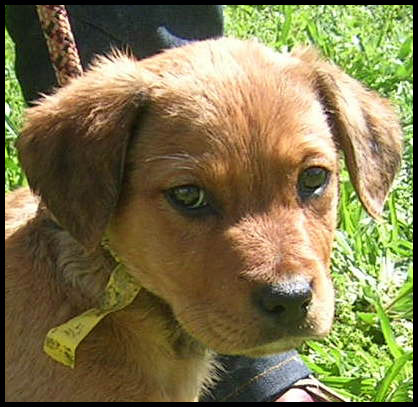 INABELLE chiot croisée berger Inabel10