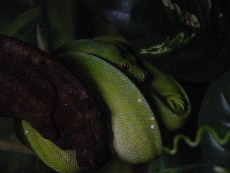 Morelia viridis Wamena F1 - Page 3 P1060214
