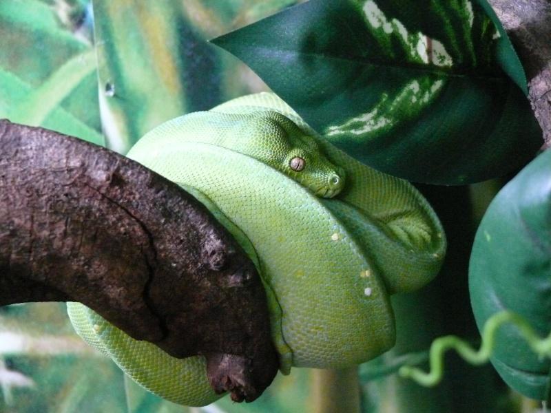 Morelia viridis Wamena F1 - Page 3 P1060216