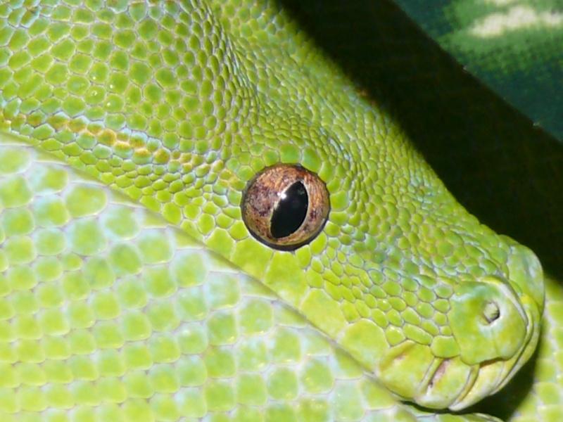 Morelia viridis Wamena F1 - Page 3 P1060218