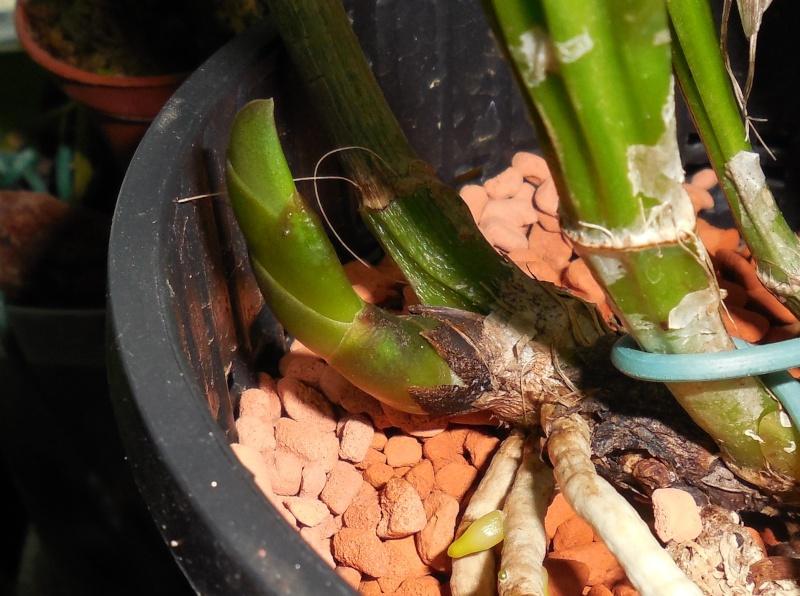 Cattleya labiata 'Mao de Deus' x 'rosada, C. kerrii, C. mendelii ...  Dscn0110