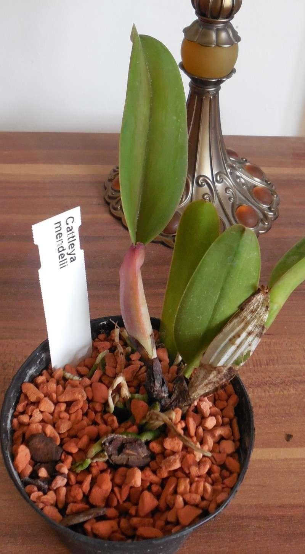 Cattleya labiata 'Mao de Deus' x 'rosada, C. kerrii, C. mendelii ...  Dscn0111