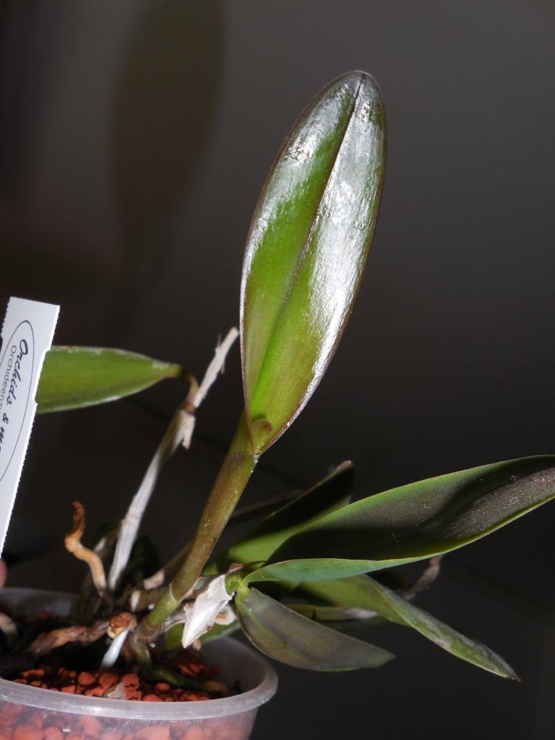 Cattleya labiata 'Mao de Deus' x 'rosada, C. kerrii, C. mendelii ...  Dscn0112