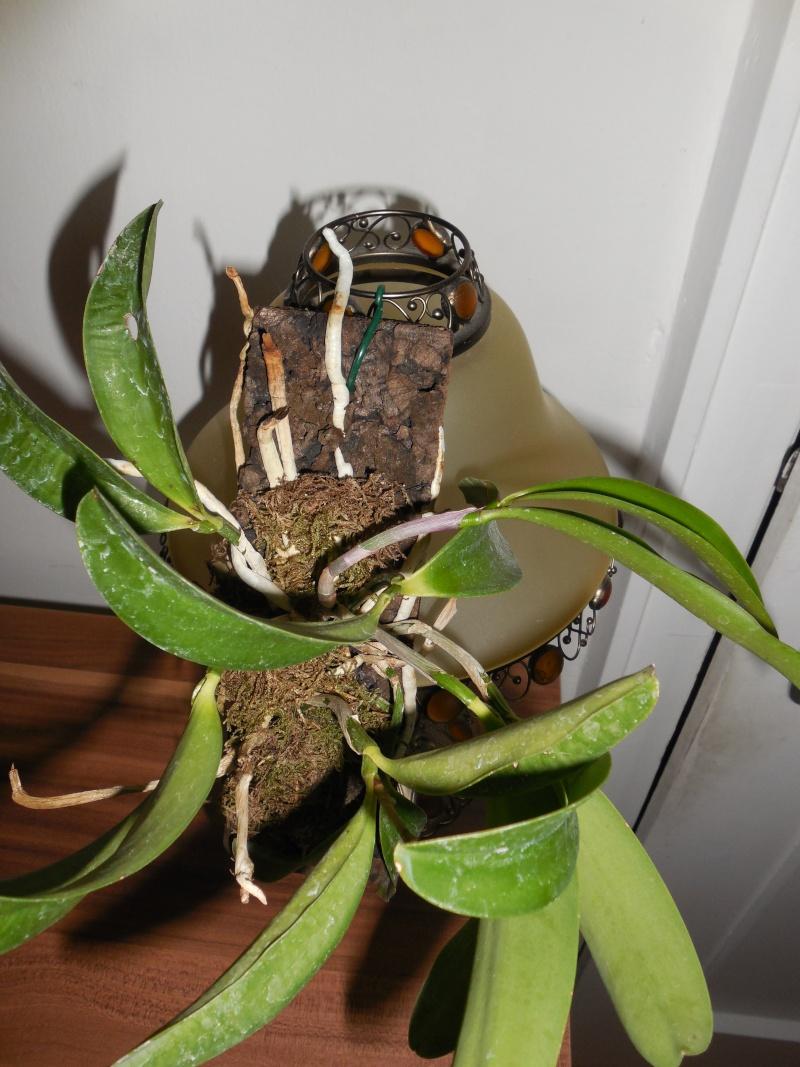Cattleya labiata 'Mao de Deus' x 'rosada, C. kerrii, C. mendelii ...  Dscn0114