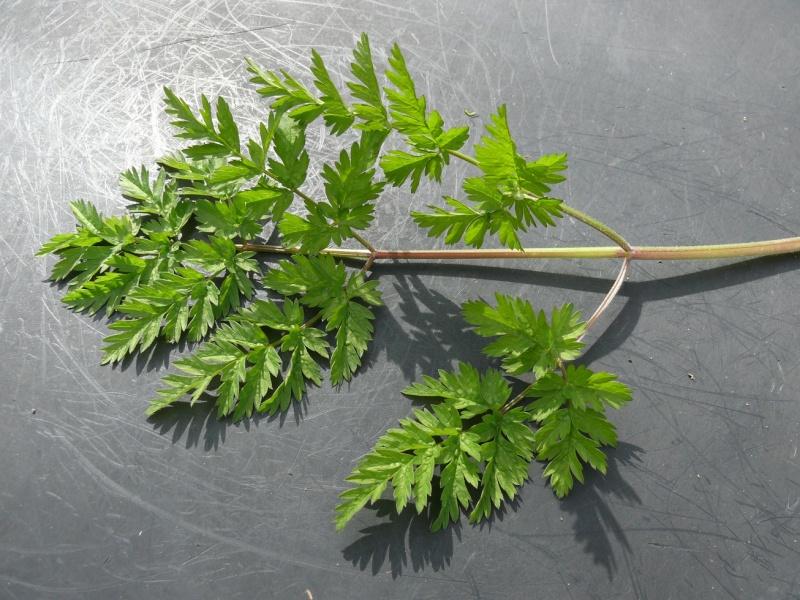 une plante commune... que je ne parviens pourtant pas à identifier ! P1010614