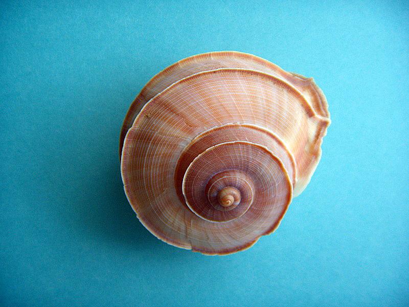 Tropidophora cuvieriana (Petit de la Saussaye, 1841) Dscn1110