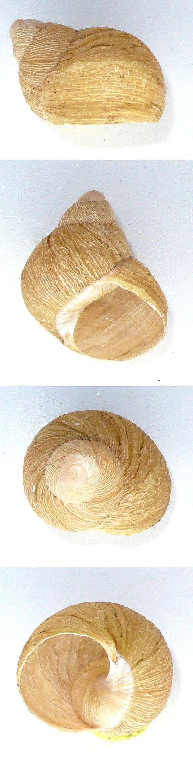 Erctella mazzullii (De Cristofori & Jan, 1832) & Erctella insolida (Monterosato, 1892) & Erctella cephalaeditana (Gianuzzi-Savelli, Sparacio & Oliva, 2012) H_mazz14