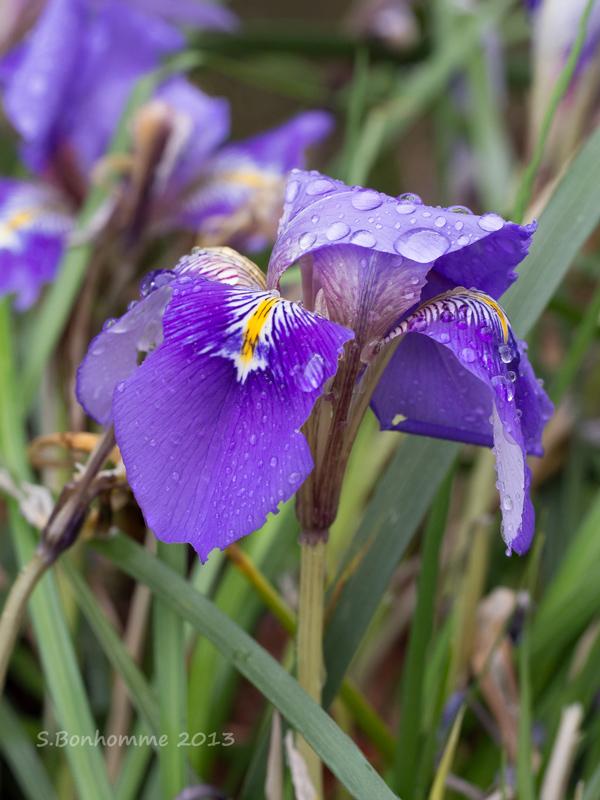 Iris du jour Iris_810