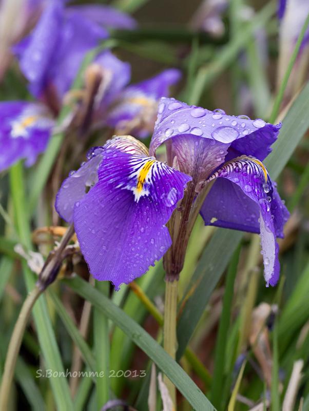 Iris du jour Rectan10