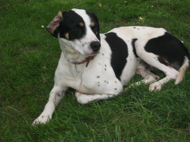 Gazou - croisé blanc, noir et marron - né le 01/01/2011 (Adopté dans le 59) Dscf3625