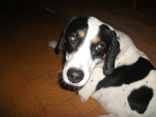 Gazou - croisé blanc, noir et marron - né le 01/01/2011 (Adopté dans le 59) Dscf3626
