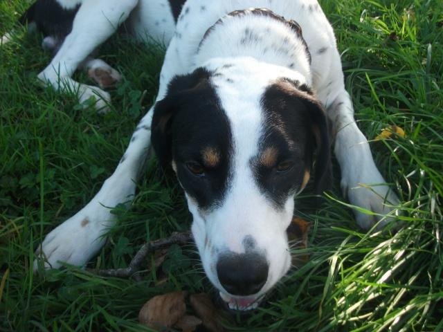 Gazou - croisé blanc, noir et marron - né le 01/01/2011 (Adopté dans le 59) Dscf3915
