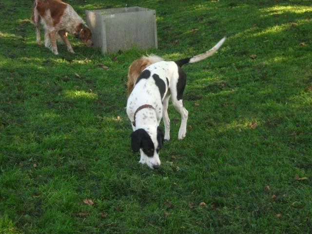 Gazou - croisé blanc, noir et marron - né le 01/01/2011 (Adopté dans le 59) Dscf3921