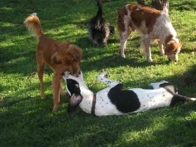 Gazou - croisé blanc, noir et marron - né le 01/01/2011 (Adopté dans le 59) Dscf3922