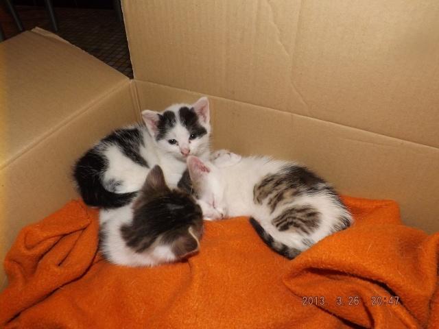 3 chatons femelles de 6 semaines à réserver pour mi avril Dscf2214