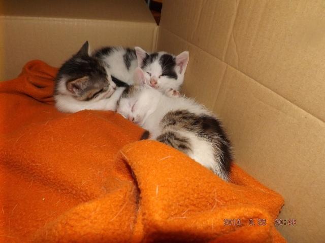 3 chatons femelles de 6 semaines à réserver pour mi avril Dscf2215