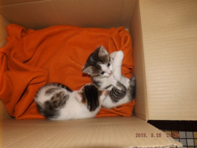 3 chatons femelles de 6 semaines à réserver pour mi avril Dscf2216
