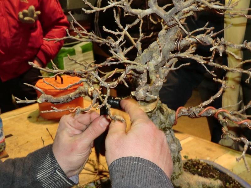 Piegatura di un grosso ramo al Bonsai Club Laudense Applic11
