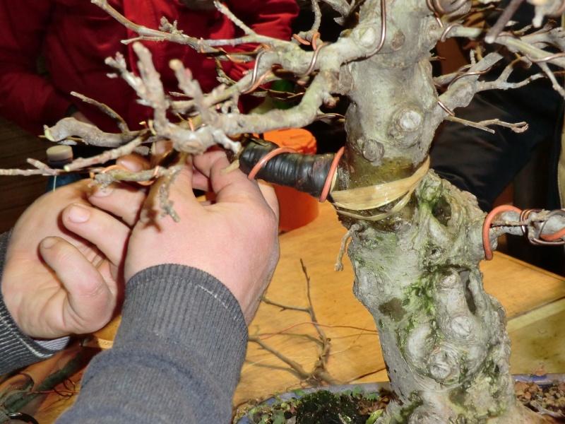 Piegatura di un grosso ramo al Bonsai Club Laudense Applic12