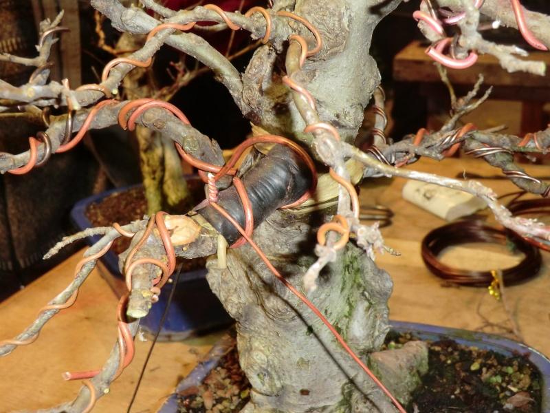 Piegatura di un grosso ramo al Bonsai Club Laudense Dettag10