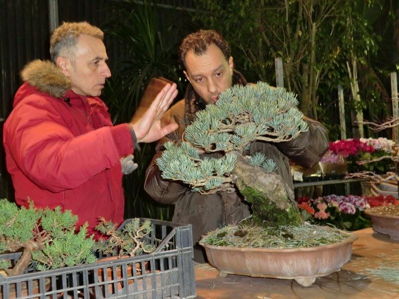 Piegatura di un grosso ramo al Bonsai Club Laudense - Pagina 2 Pino_p10