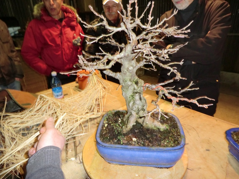 Piegatura di un grosso ramo al Bonsai Club Laudense Prepar10